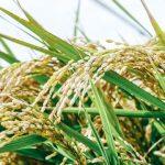 お米の保存の仕方と虫よけ防止方法!お餅のカビを防ぐ方法も紹介します!